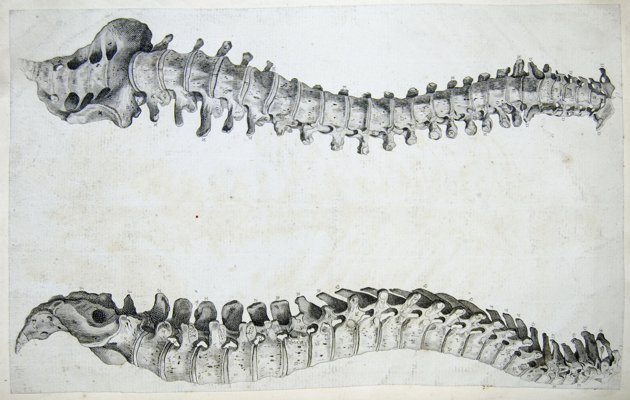 spine-anatomie